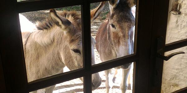 Les ânes à la porte de l'atelier